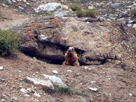 2. Den 3 Marmot_Small_CUT